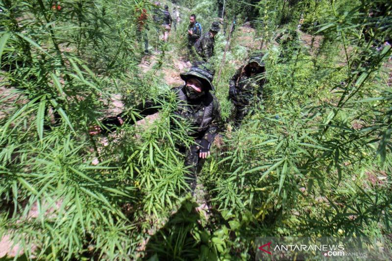 BNN Memusnahkan 13 Ribu Batang Pohon Ganja di Aceh Utara