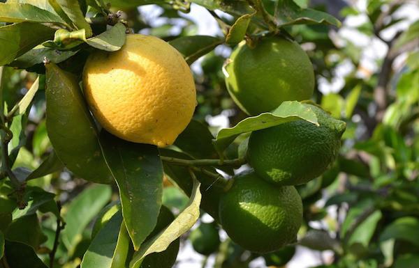 Ketahuilah, Ini Manfaat Lemon Myrtle Bagi Kesehatan